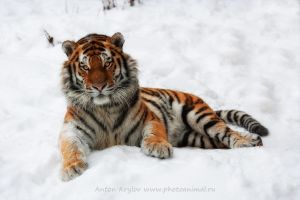 Tiger on the snow by Jagu77