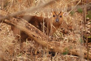Muntjac Buck. by quaddie