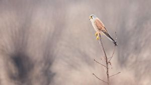 Male kestrel by Dunadan-from-Bag-End