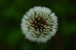 Dandelion head covered in droplets by petmag