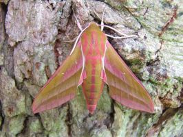 Elephant hawk-moth1 by MooMooMan