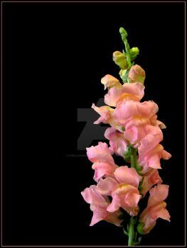 Snapdragon by KWilliamsPhoto