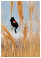 Summer Red-winged Blackbird by Ryser915