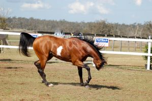 GE Arab pinto head flick mane up side view by Chunga-Stock