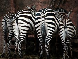 Zebra Eating Frenzy by DesaturatedDream