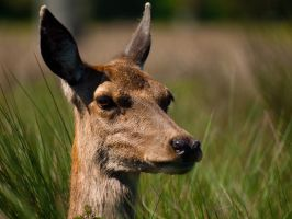 Red Deer Hind 02 - May 12 by mszafran