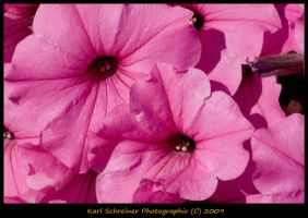 Pink 7 by KSPhotographic