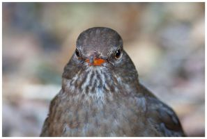 Blackbird female II by Malgorzata-Skibinska