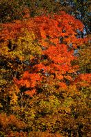 Fall Tree by StolenSecrets