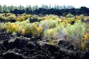 Plants Growing in Lava Rock Field by MogieG123