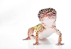 Leopard Gecko by cathy001