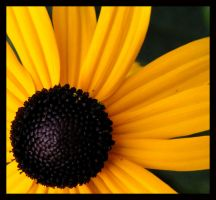 Black-Eyed Susan by QueenOftheNight341