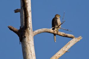 Perched Hawk by bovey-photo