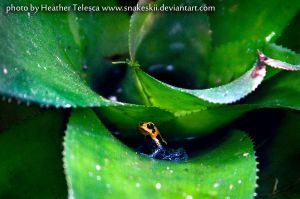 Dart Frog by HeatherTelesca