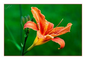 Lily by Tanja0869