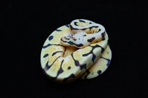 BumbleBee Ball Python - 2 by JAMills
