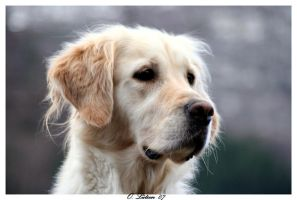 Golden Retriever by Hedling