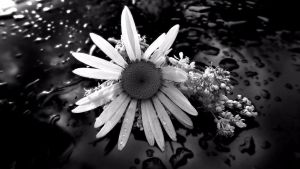 Daisy BnW by audiomad