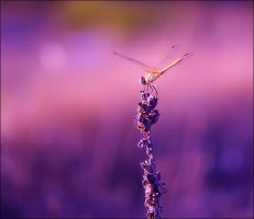 Dragonfly by alessandraaa