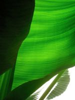 Banana Leaves by joeyartist