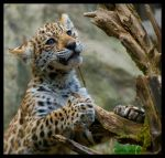 jaguar: little explorer by morho