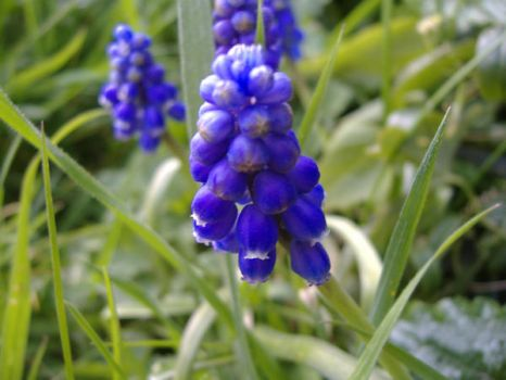 grape hyacinth - one by ral-stock