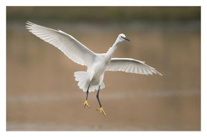 Little Egret Landing by Neutron2K