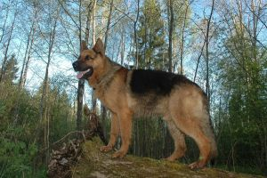 German Shepherd 2244936 by StockProject1