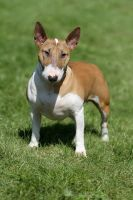Lady Bullterrier by SaNNaS