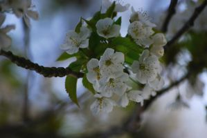 Tree blossoms by Tricia-Danby