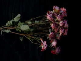 dried roses by rikuforstock