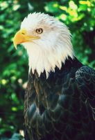 Bald Eagle by ColdEdge