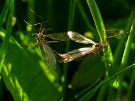 Tipulidae mating by TheFunnySpider