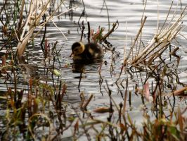 Camouflaged duckling by piglet365