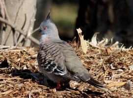crested pigeon by wolftraz