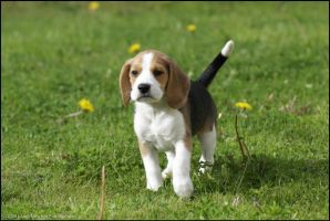 Beagle... by tommicc