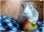 Lunchen the cute guinea pig by Lunatic-Hao-ChaN