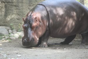 River Hippo close up by Dinalfos5