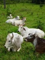 Cattle 2 by xGlassRaindropsStock