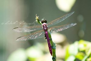 Pink Dragonfly by xmisslizx