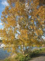 The birch dressed in Autumn by vonderwall