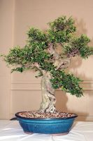 Bonsai Tree by cynstock