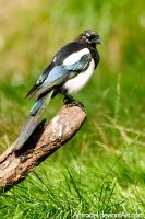 Magpies Are Not Only Black and White by amrodel