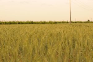 walking on the cornfield by ITphotography
