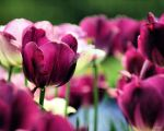 Purple Tulips by eskimoblueboy