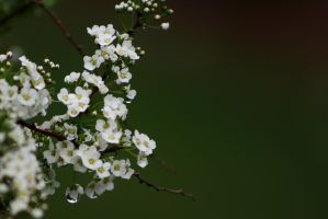 Bridal Wreath 3 by Photolover68