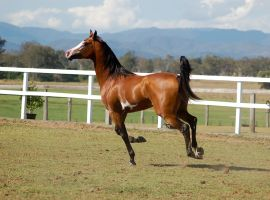 GE arab pinto cantergallop one leg on ground by Chunga-Stock