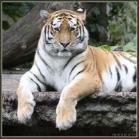 Amur Tiger 20 by Globaludodesign