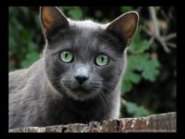 Green-eyed Russian Blue by yarrboots