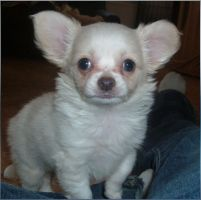 Nanouk, the Chihuahua by mceric